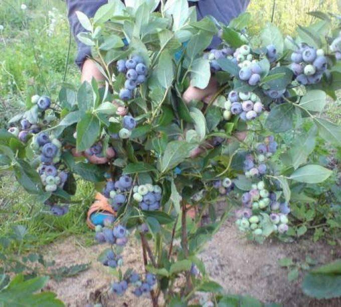 Лучшие сорта садовой голубики с фото