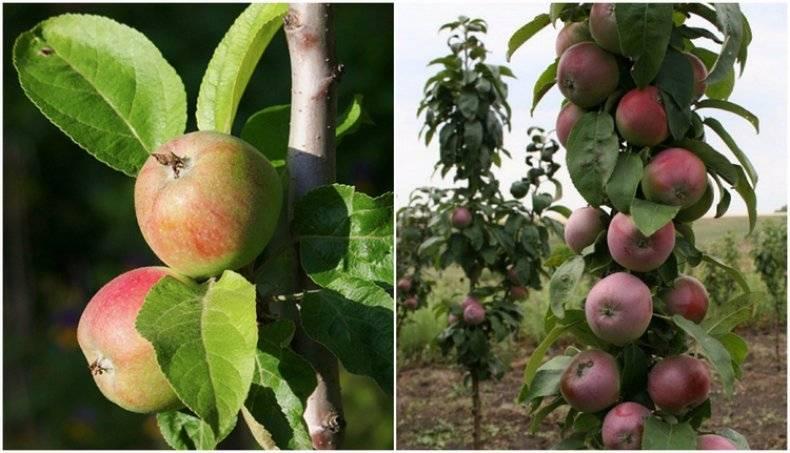 Колоновидные яблони - сорта и описание растения с фото, выращивание, уход и формирование кроны
