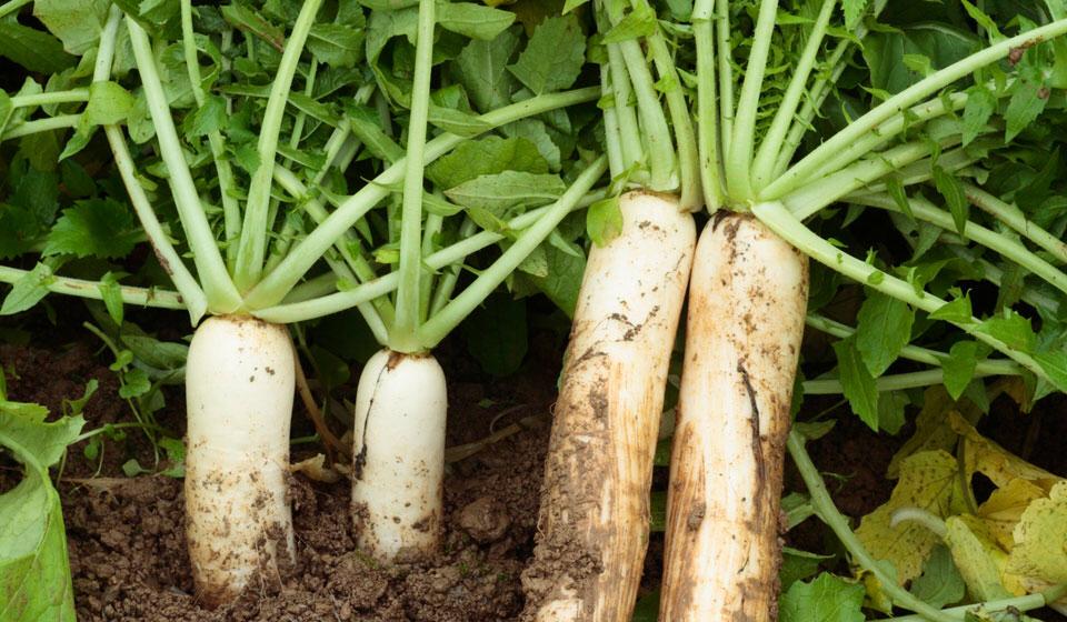 Всё о посадке редьки дайкон семенами в открытый грунт, а также о её выращивании в теплице