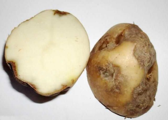 Фузариоз картофеля: описание заболевания с фото, лечение, методы борьбы, устойчивые к фузариозу сорта картофеля, отзывы