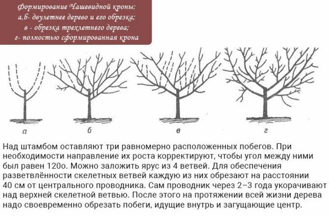 Колоновидная груша: описание и сорта, особенности посадки и ухода, отзывы садоводов