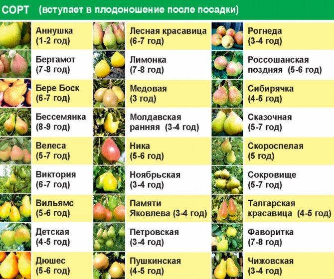 Характеристика и выращивание груши сорта лада