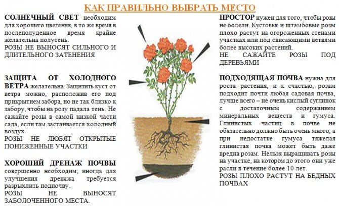 Как сажать хризантемы осенью — пересадка, деление, черенкование, уход.
