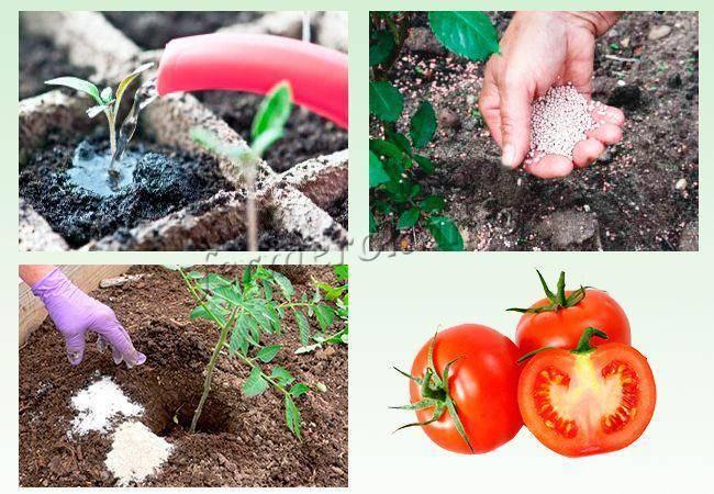Рассада помидор подкормка первая, после всходов, после пикировки