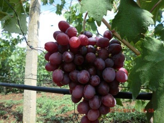 Виноград подарок несветая: описание сорта, фото и отзывы