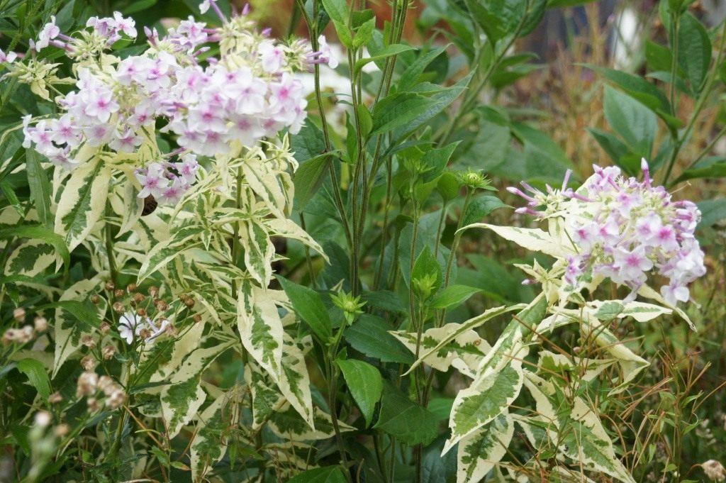 Флокс метельчатый посадка и уход, фото сортов, выращивание и размножение в открытом грунте, роль в ландшафтном дизайне