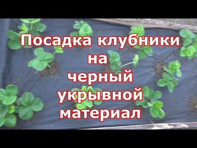 Правильная посадка клубники в агроволокно: как правильно садить весной и осенью, секреты выращивания ягод, видео