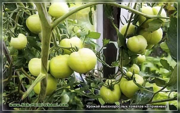 Как вырастить «помидофель»! – дачные дела