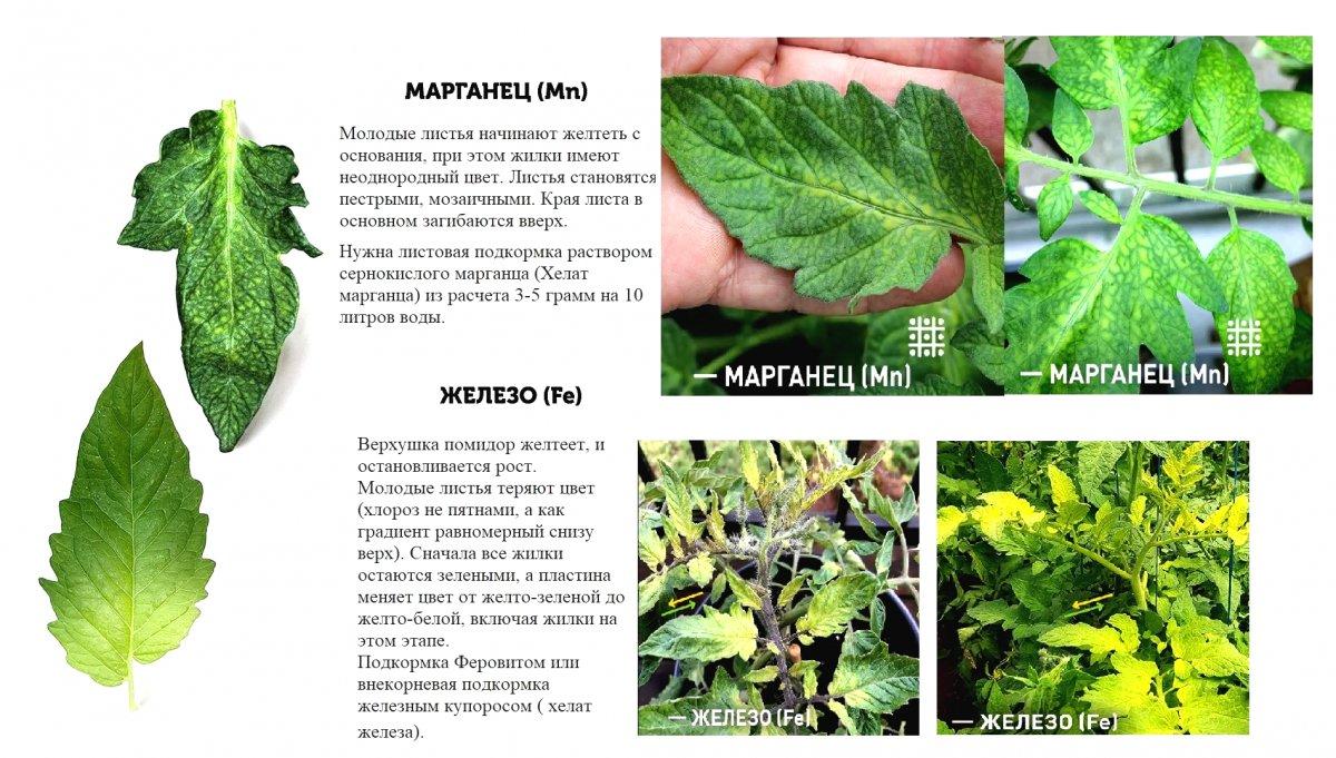 У перца желтеют листья, причины, что делать - agroflora.ru