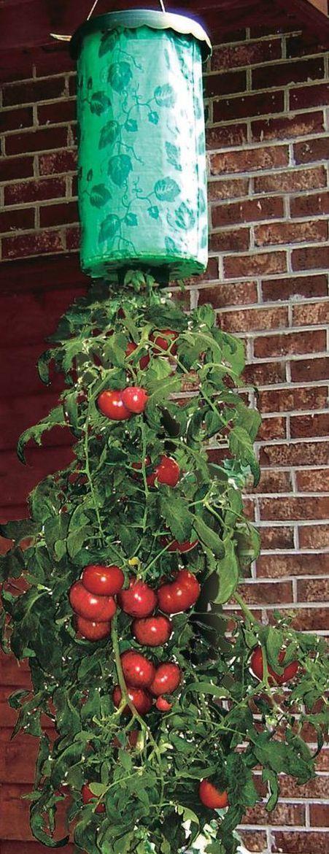 Новая технология topsy turvy в теплице: выращиваем вверх корнями!