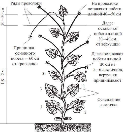 Пасынкование огурцов и схема формирование куста в теплице