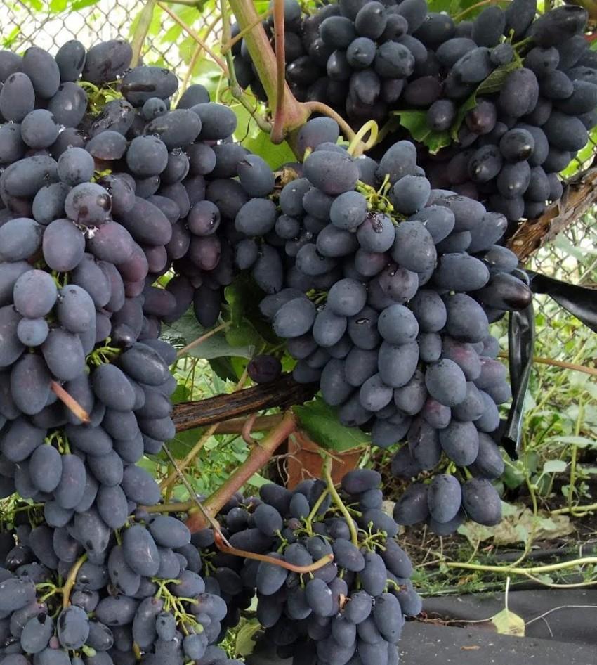 Всё о сорте винограда «красотка» — от особенностей выращивания до фото и отзывов о нем
