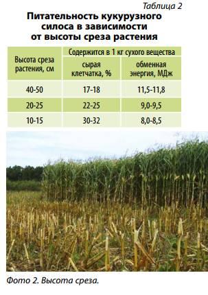 Технология возделывания кукурузы на силос, уборка, сорта и урожайность