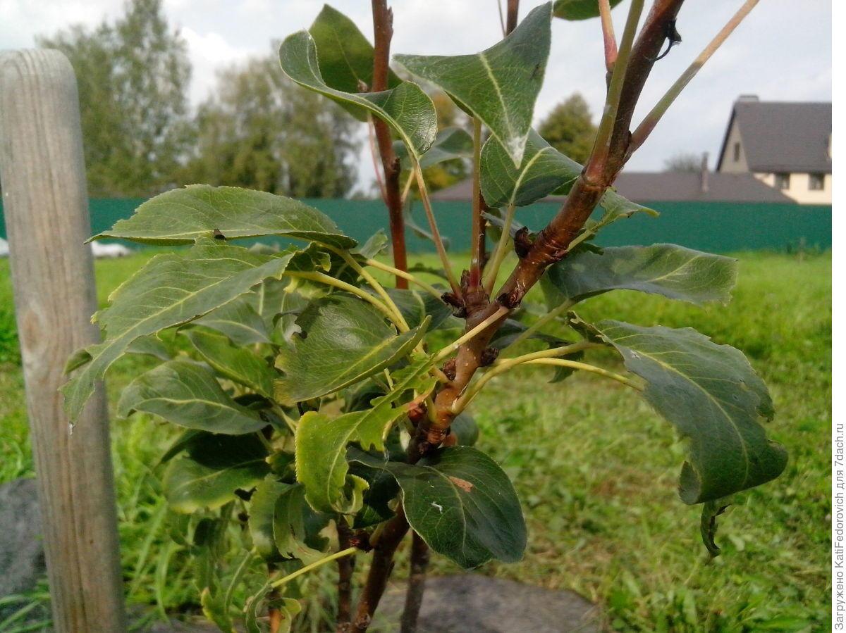 У груши скручиваются листья и чернеют: чем обработать