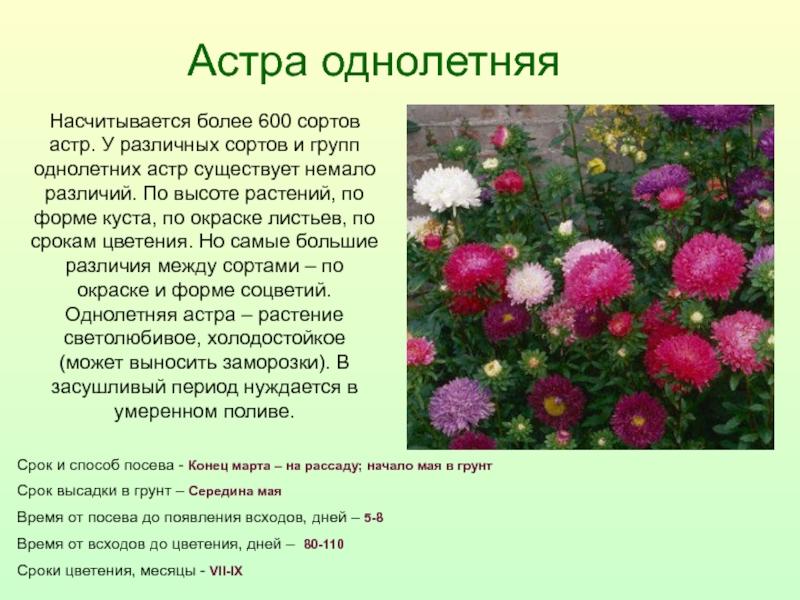 Более 20 лучших сортов однолетних астр, с описанием и фото на sotkiradosti.ru