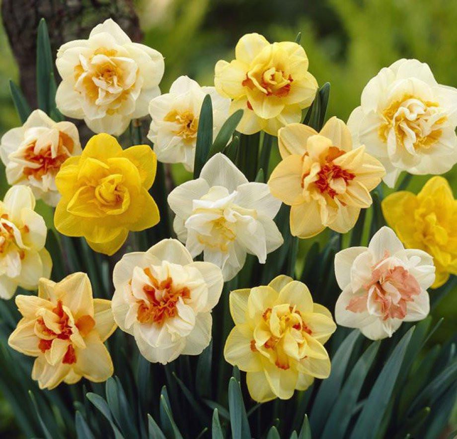 Нарцисс — виды, уход и выращивание. цветок. фото — ботаничка.ru