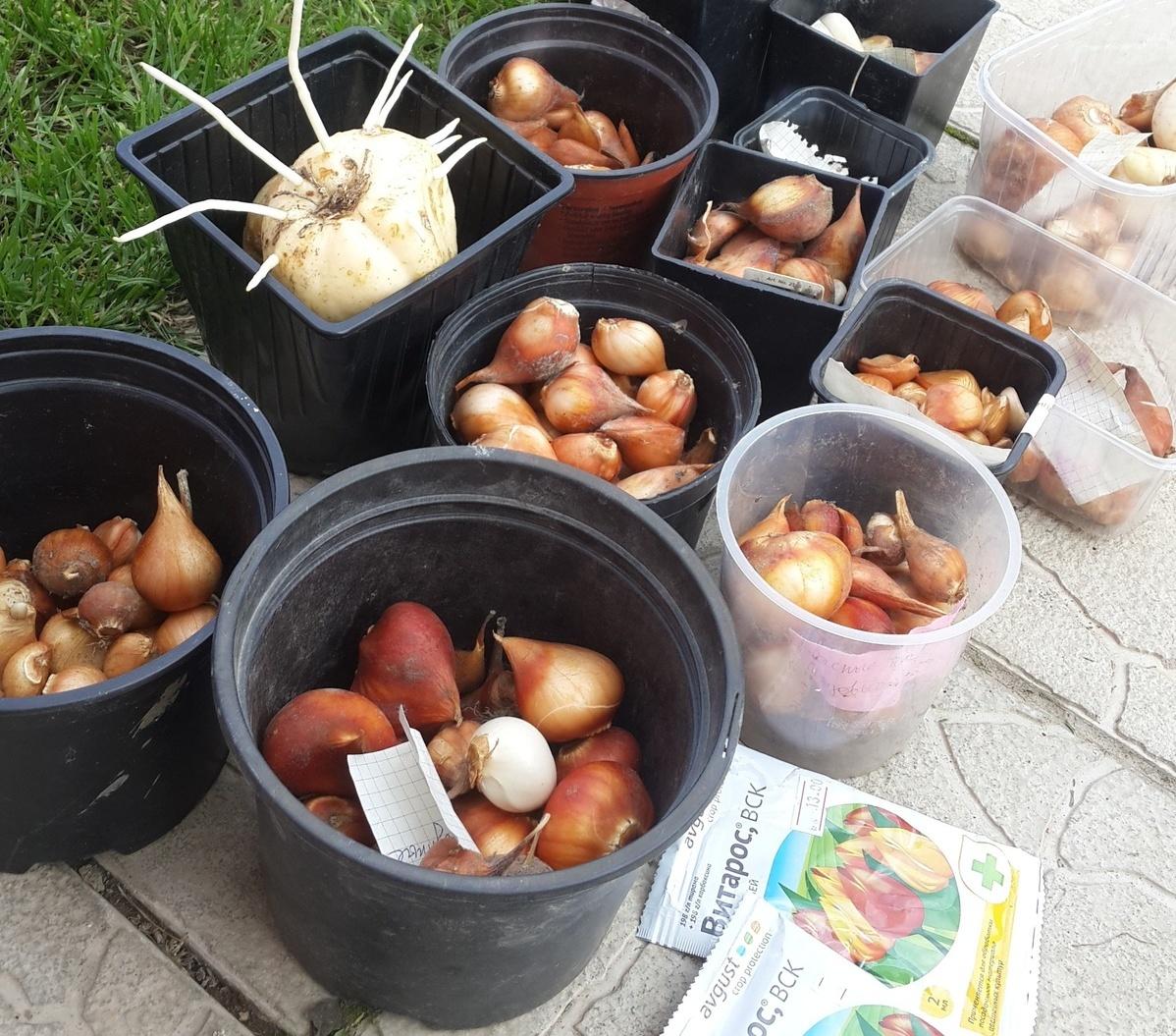 Как сажать тюльпаны в корзины для луковичных: хитрости и тонкости