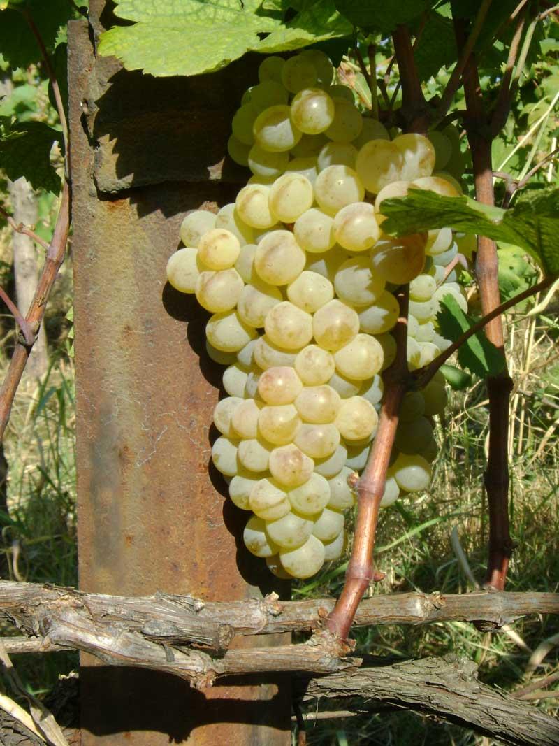 Ркацители (rkatsiteli) - сорт винограда
