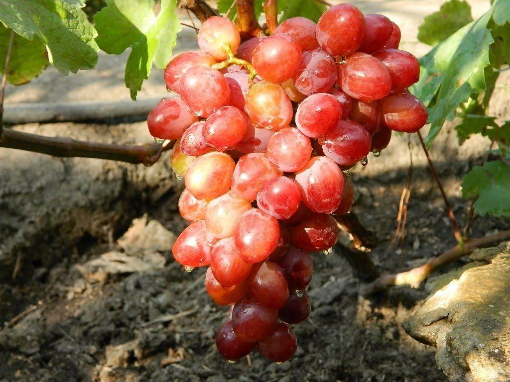 Сорт винограда памяти учителя: описание, фото