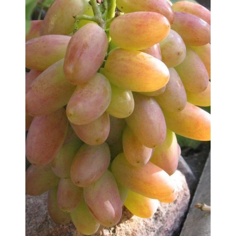 Описание и особенности винограда сорта юбилей новочеркасска. отзывы виноградарей
