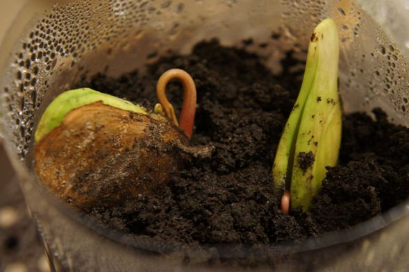 Выращиваем дома из косточки манго и другие фрукты: маракуйя, абрикос, хурма...