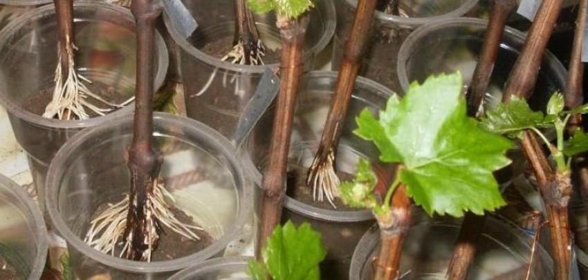 Проращивание черенков винограда в домашних условиях: способы, сроки, видео | vinograd-loza