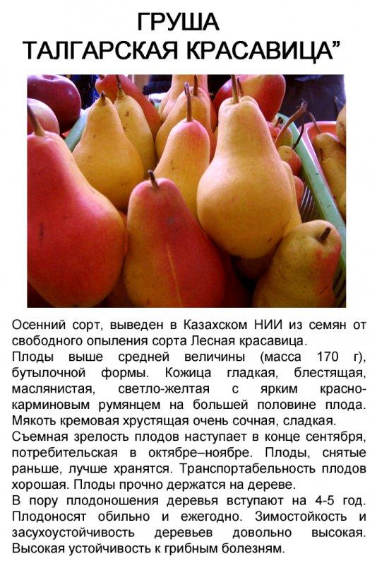 Груша талгарская красавица: описание сорта, посадка, уход