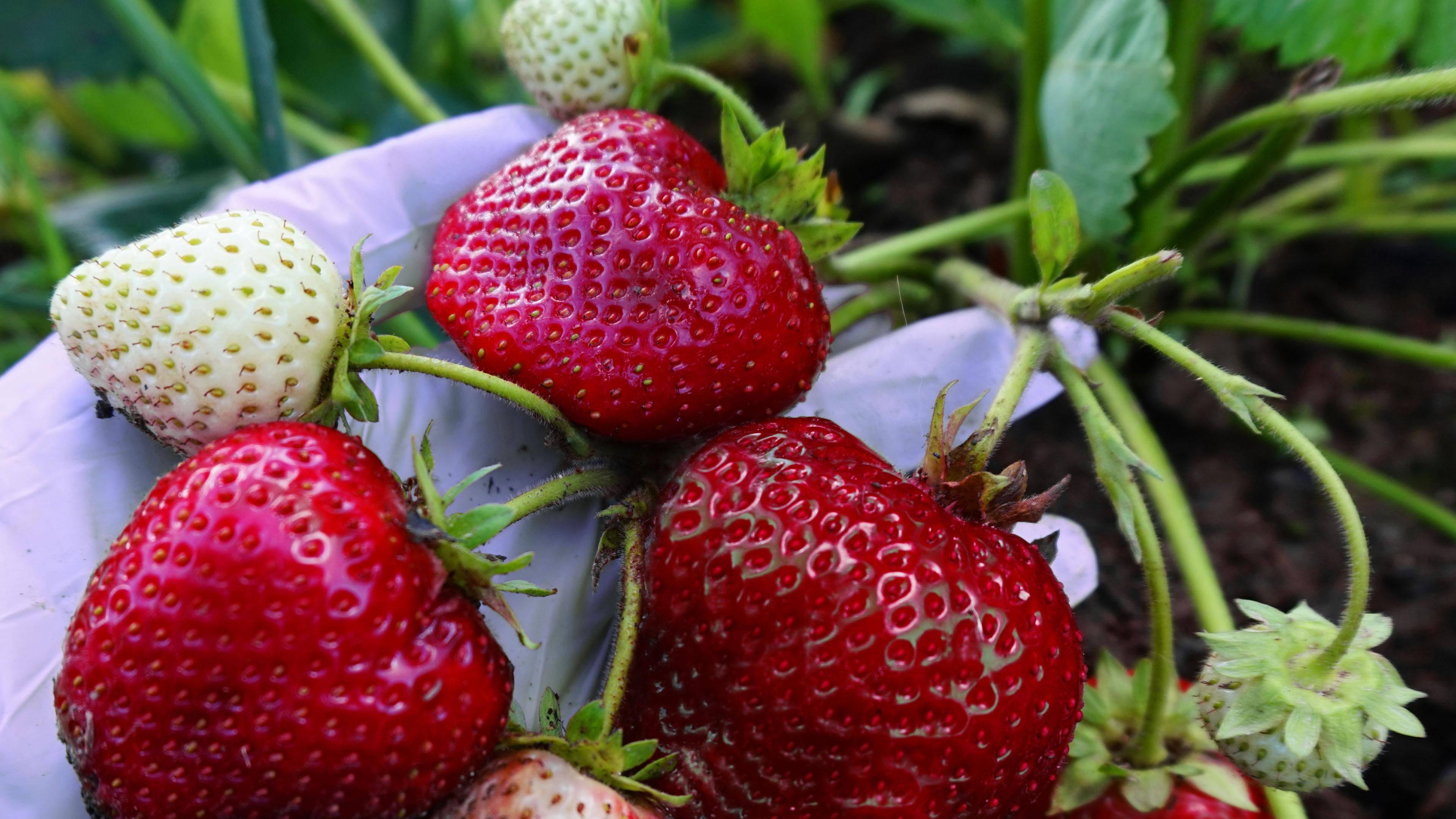 Клубника хоней: отзывы, фото, описание сорта, посадка и уход, выращивание, урожайность, подкормка