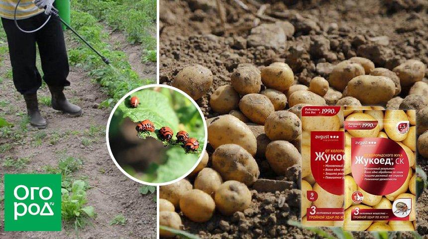 Отрава от колорадского жука жукоед, инструкция по применению для картофеля