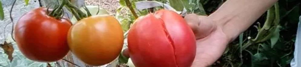 Почему трескаются помидоры в теплице: 5 причин