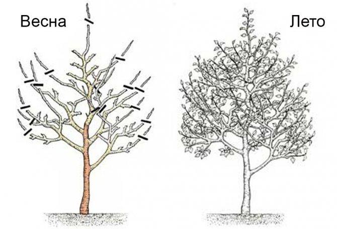 Обзор сортов и особенности выращивания колоновидных груш