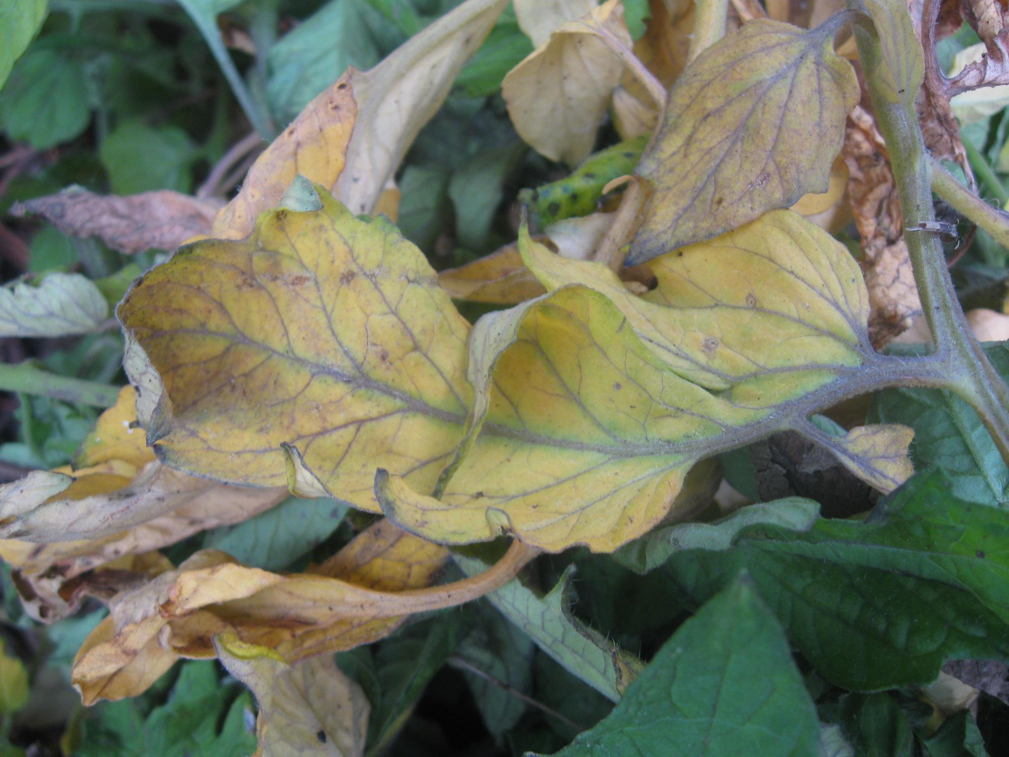 Хлороз (пожелтение листьев): причины, диагностика, лечение | good-tips.pro
