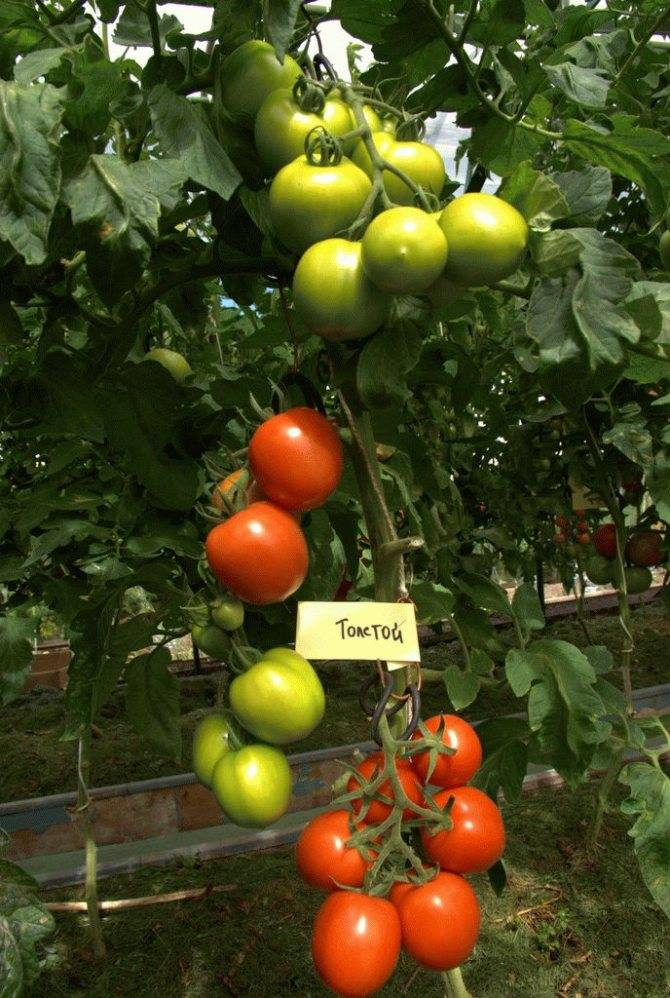 Как правильно выращивать томат «львович f1»: инструкция от опытных агротехников для максимальной урожайности