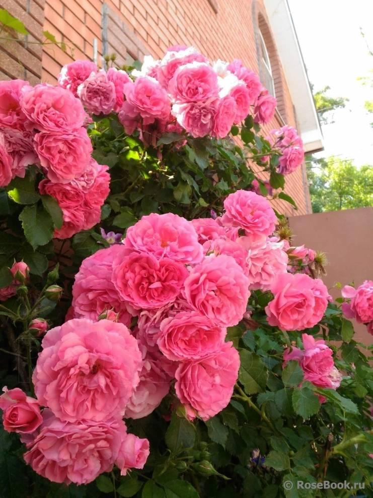 Роза плетистая розариум ютерсен: фото и описание сорта, отзывы