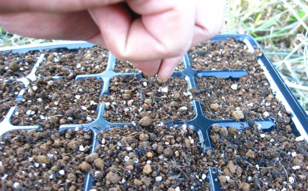 Как вырастить пастернак из семян: подготовка, способ посадки и тонкости ухода в открытом грунте