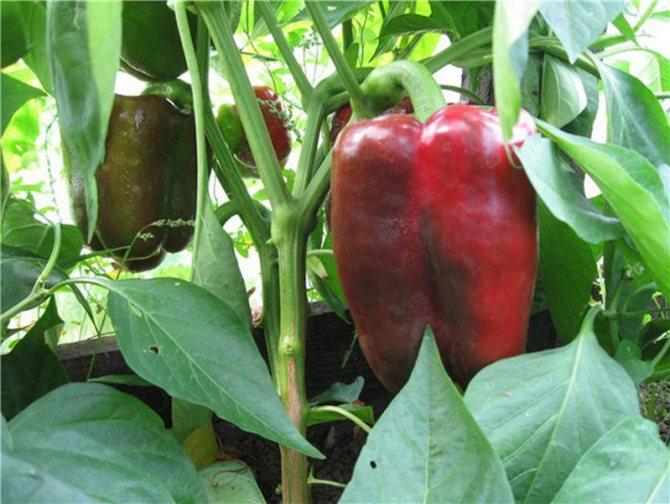 Агротехника выращивания перца клаудио f1 преимущества и отличительные особенности сорта - всё о землеводстве