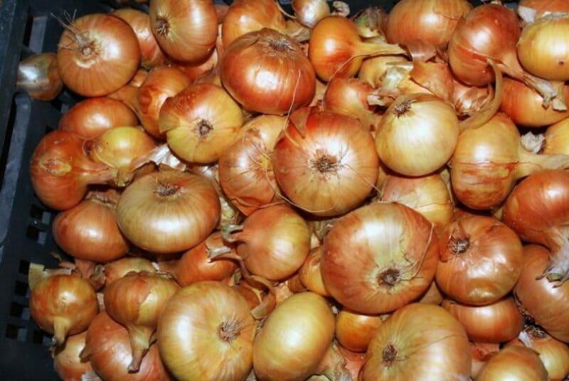 Как посадить и вырастить лук «штутгартер ризен»