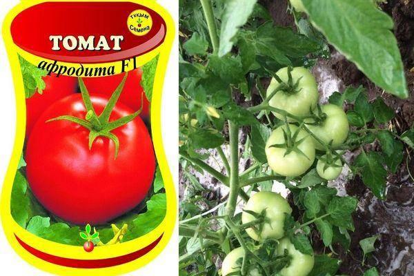 Описание сорта томата афродита, его урожайность и характеристики – дачные дела