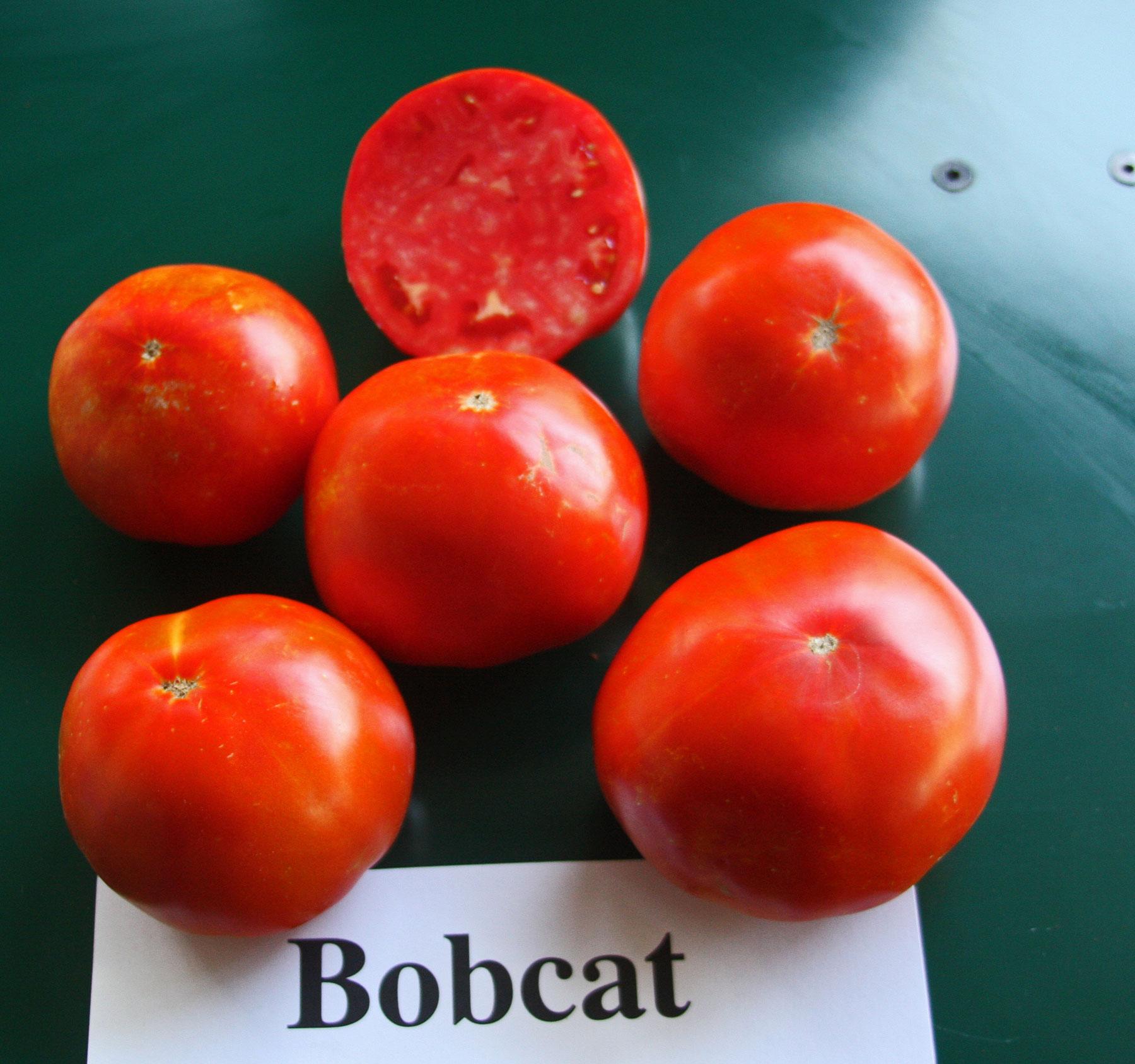 """Томат """"бобкат f1"""": характеристика и описание сорта, урожайность, отзывы"""