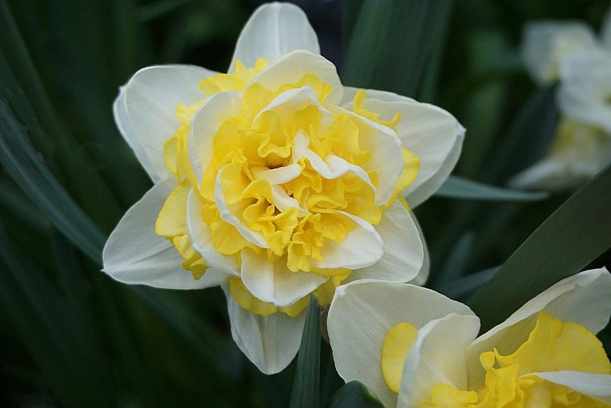 Нарцисс дельнашо: описание, особенности сорта. выращивание,фото