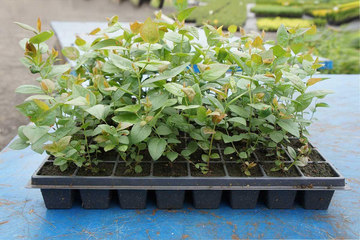 Как вырастить голубику из семян в домашних условиях: правила размножения и посадки