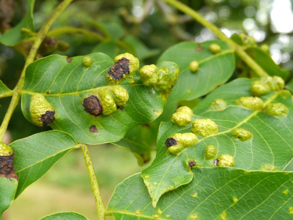 Основные болезни и вредители грецкого ореха и средства борьбы с ними