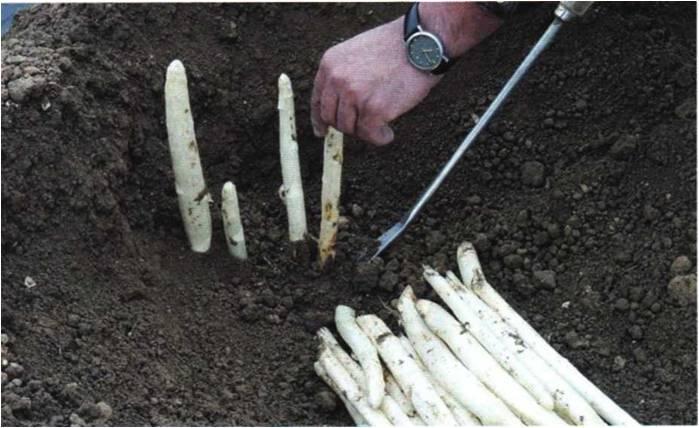 Правильное выращивание спаржи и уход за ней в открытом грунте