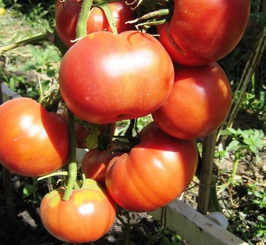 Сорт томата «бийская роза»: фото, отзывы, описание, характеристика и урожайность.
