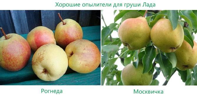 Груша январская: описание сорта, фото, особенности выращивания selo.guru — интернет портал о сельском хозяйстве
