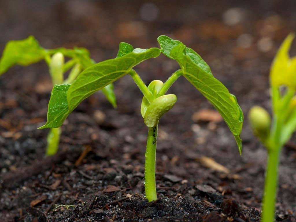 Выращивание фасоли в открытом грунте: правильная посадка и уход