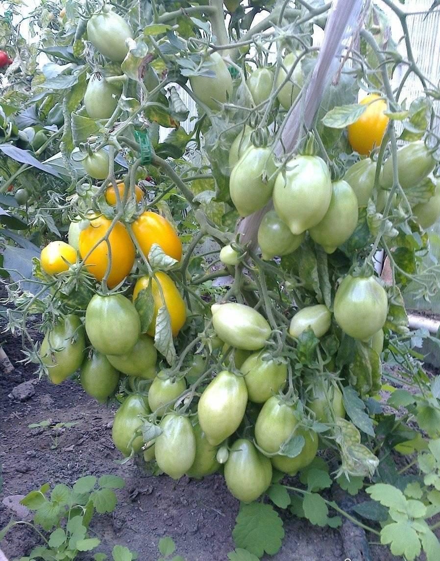 Томат чудо света - описание сорта, характеристика, урожайность, отзывы, фото