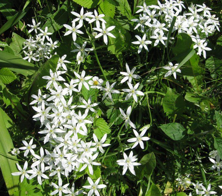 Калужница - фото, описание растения, посадка и уход, выращивание из семян, когда цветет