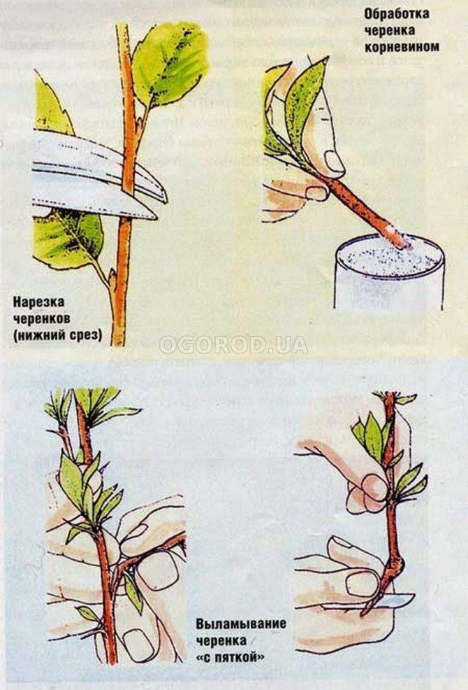 Способы размножения вишни черенками летом, правила агротехники