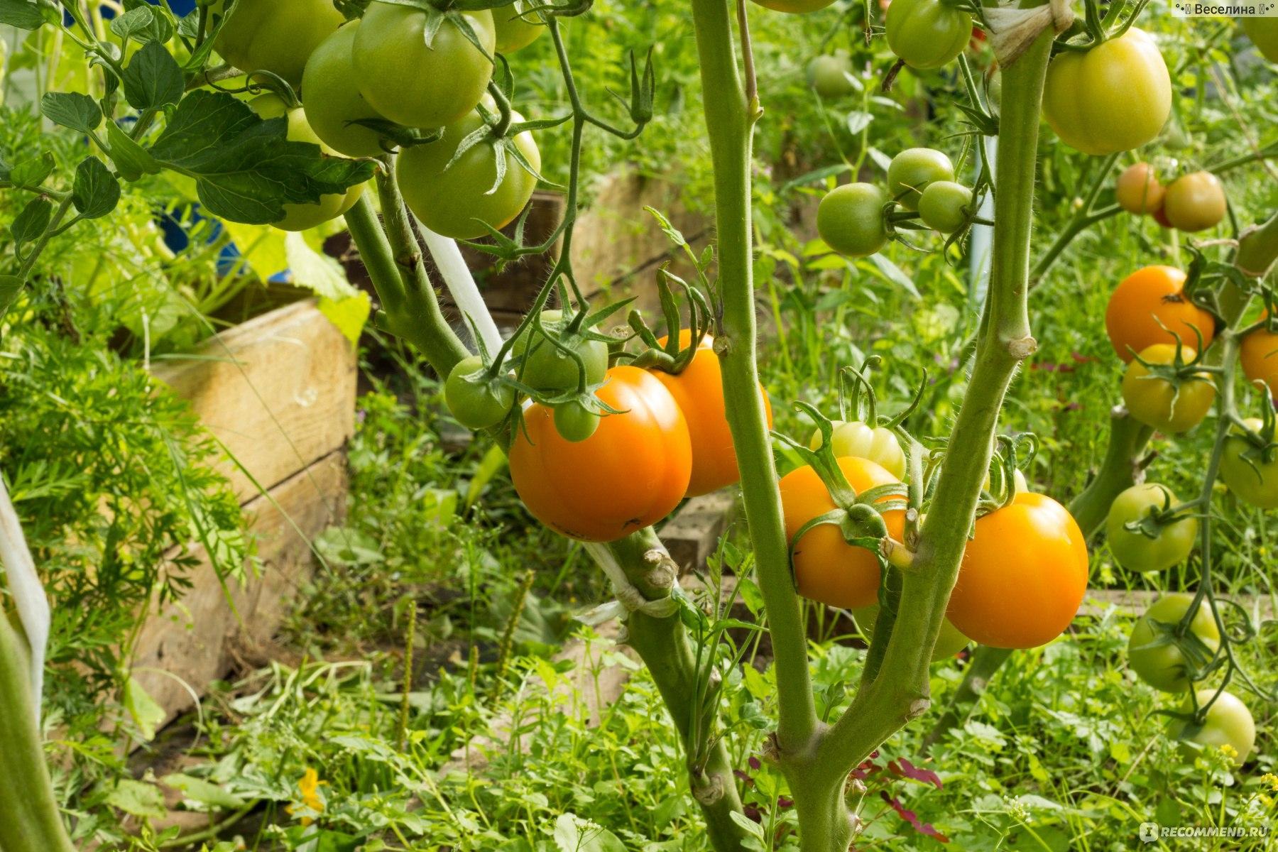Томат цифомандра: отзывы, фото, урожайность, характеристика сорта, описание плодов